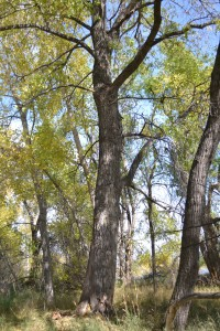 Cottonwood forest